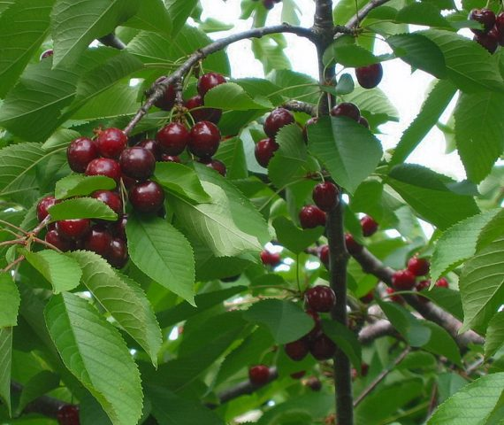 PYO Cherries